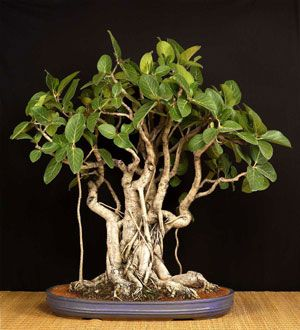 Bonsai Tree For India Native Sant