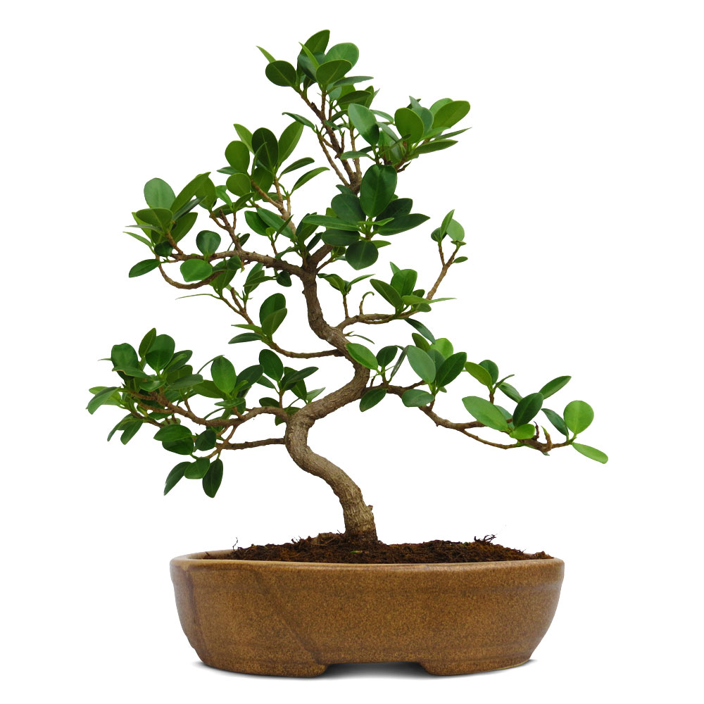 Ficus Bonsai 3 Years Old Native Sant
